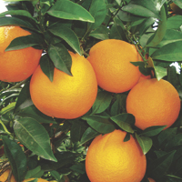 oranges - history, production, trade