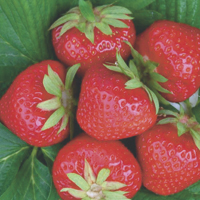 strawberries - history, production, trade