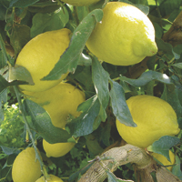 lemons - history, production, trade