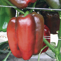 peppers - history, production, trade