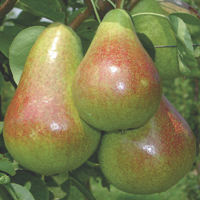 pears - history, production, trade