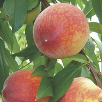 peaches - history, production, trade