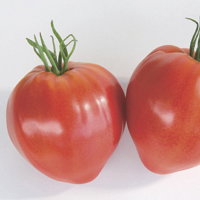 tomatoes - history, production, trade