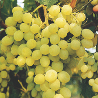 grapes - history, production, trade